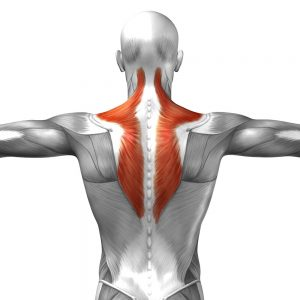 Tension in the Trapezius muscle causes pain, headaches and migraines