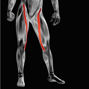 Tension in the Sartorius muscle can cause groin pain